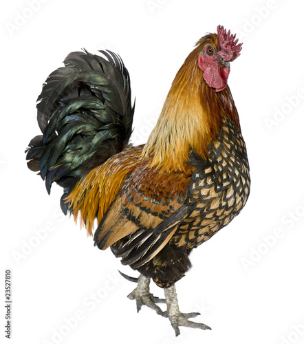 Foto Gallic rooster, 5 years old, standing against white background