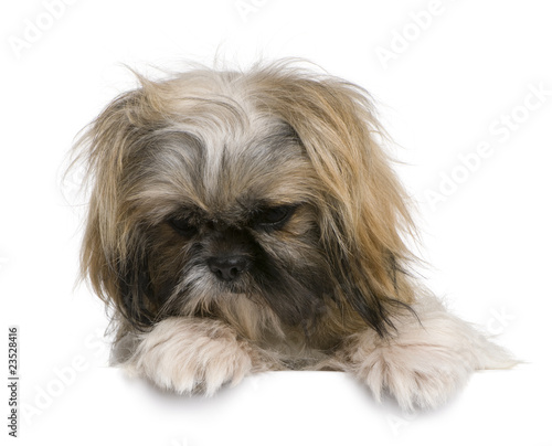 Shih Tzu 1 Year Old Sitting Against White Background Buy This