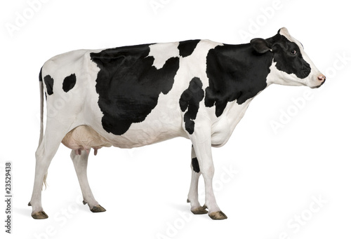 Acrylic Prints Cow Holstein cow, 5 years old, standing against white background