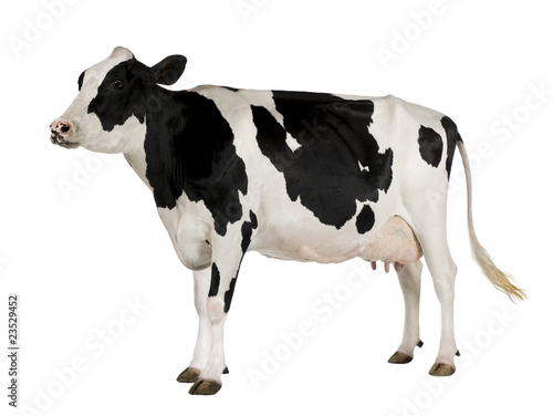 Foto op Plexiglas Koe Holstein cow, 5 years old, standing against white background