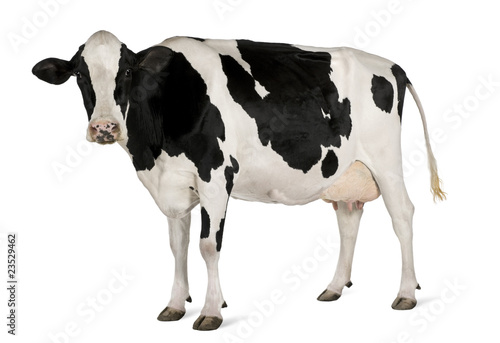 Photo Stands Cow Holstein cow, 5 years old, standing against white background