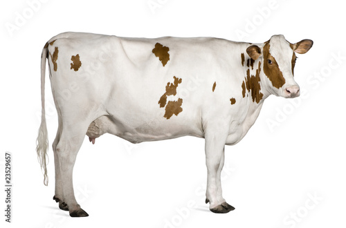 Photo Stands Cow Holstein cow, 4 years old, standing against white background