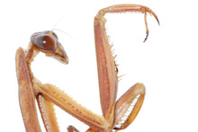 Praying Mantis Bug Insect Isolated