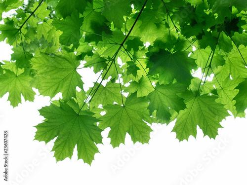 Foto-Kissen - Ahornblätter (von mirkomedia)