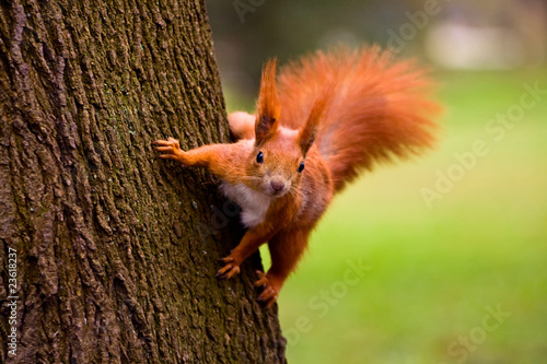 In de dag Eekhoorn Red squirrel in the natural environment