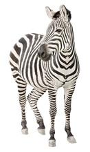 Zebra Pregnant Front View Look...