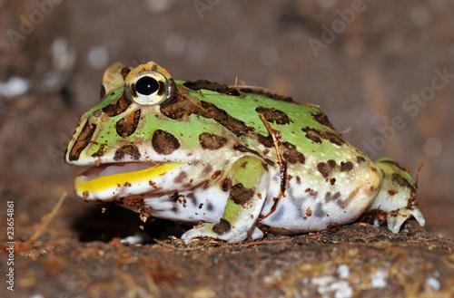 Fotografie, Obraz  Ozdobený pac man žába / rohatka