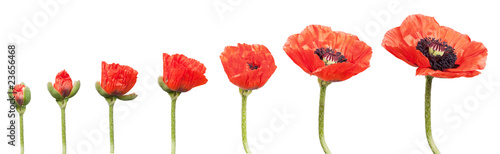Fotobehang Poppy Red Poppies in a row. Isolated on white
