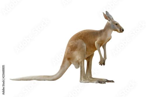 Deurstickers Kangoeroe kangaroo