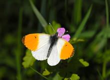 Orange Tip Butterfly, Anthocha...