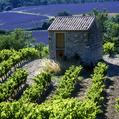 Fototapetavineyard and lavender field, Provence, France