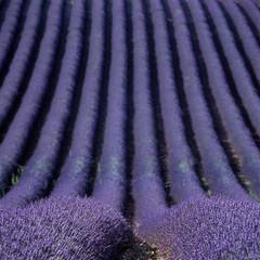Panel Szklany lavender field, Plateau de Valensole, Provence, France