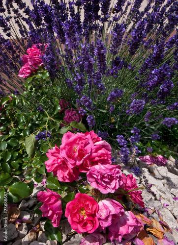 Photo  Rosen und lavendel 1