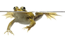 Green Pond Frog Swimming Isolated On White