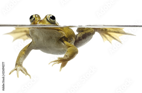 Tuinposter Kikker green pond frog swimming isolated on white