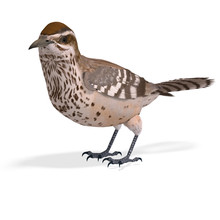 Cactus Wren. 3D Rendering With Clipping Path And Shadow Over Whi