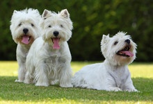 Famille De West Highland White Terriers