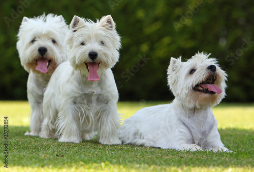 Deurstickers Franse bulldog famille de west highland white terriers
