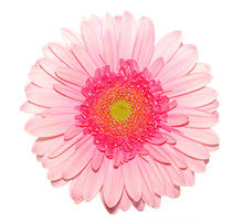 Pink Gerbera Daisy Isolated On White