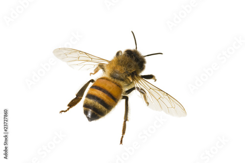 Photo sur Toile Bee Bee, Apis mellifera