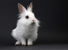 White Domestic Baby-rabbit On ...
