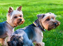 Two Yorkshire Terriers On The ...