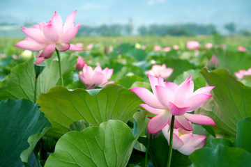 Obraz lotus flower blossom