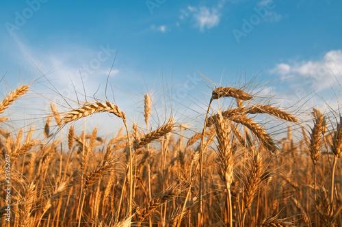 Fotobehang Aan het plafond Wheat