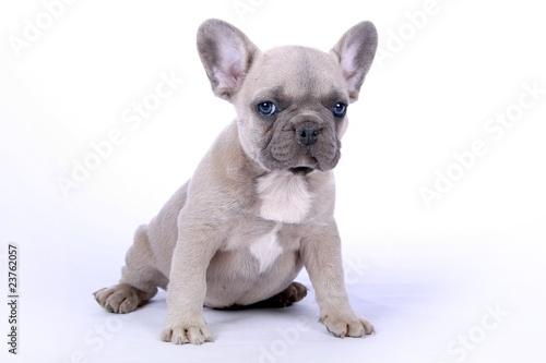Ingelijste posters Franse bulldog French Bulldogge Welpe