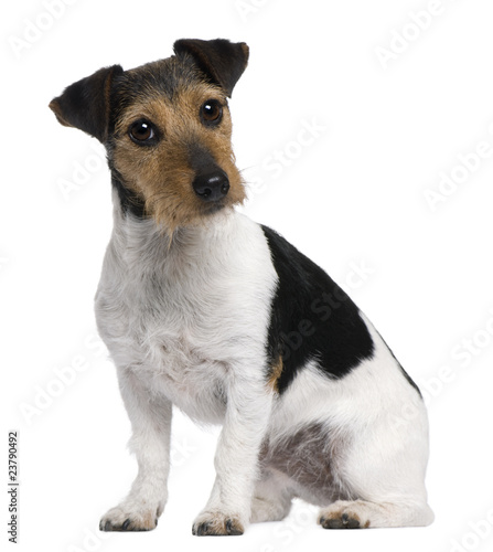 Fotografia Jack Russell Terrier, 3 years old, sitting