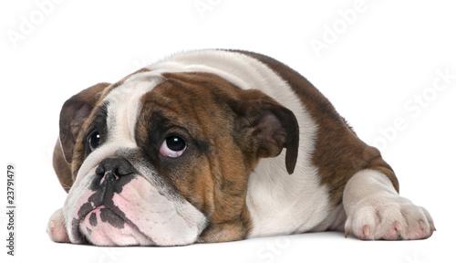 Fotografie, Obraz  English Bulldog puppy, 4 months old, lying