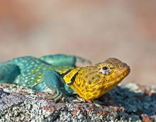 Collared Lizard 12