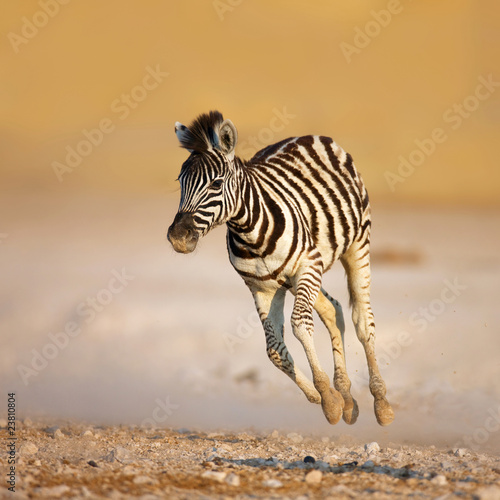 Cadres-photo bureau Zebra Baby zebra running
