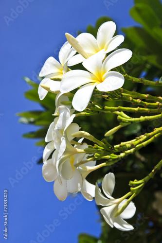 Photo sur Aluminium Frangipanni Plumeria alba flowers on blur background