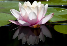 A Water Lily Bloom