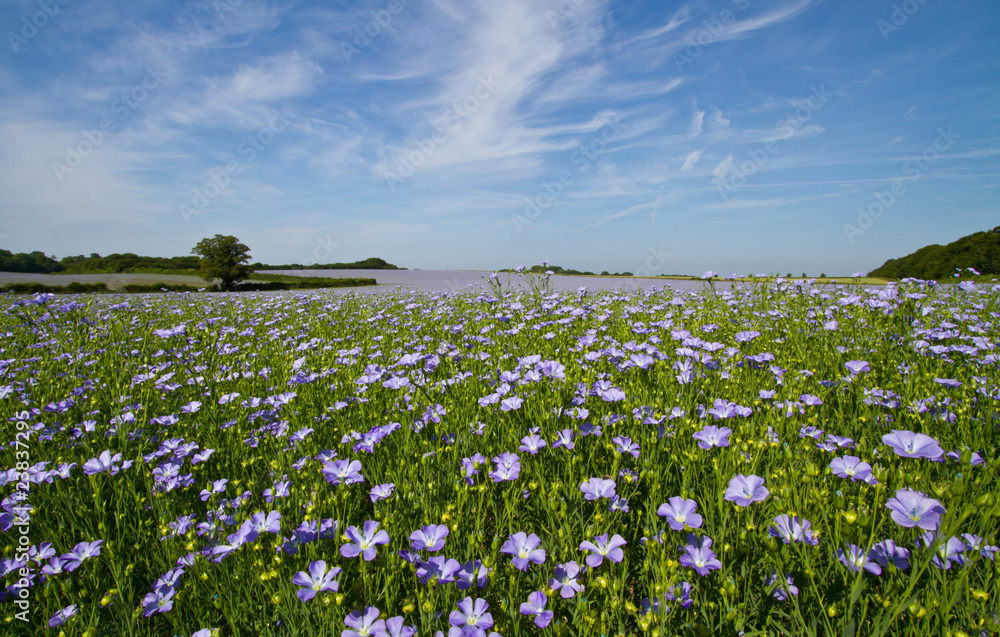 Fototapety, obrazy: Field of Linseed or Flax in flower