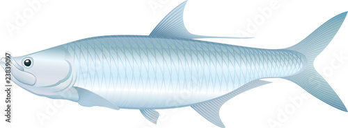 Obraz na plátně Tarpon - Vector illustration of saltwater fish.
