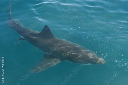 Foto op Plexiglas Panoramafoto s requin blanc