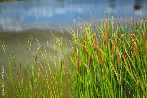 Fotografie, Obraz  sedge in pond