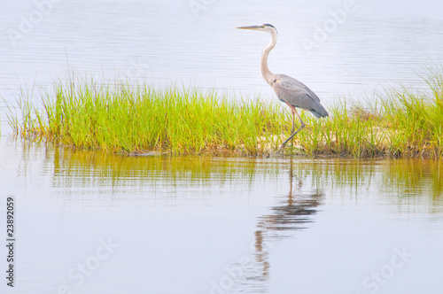 Stampa su Tela Blue heron in marsh