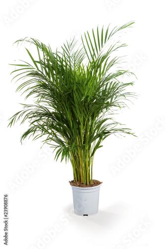 areca plante verte Canvas Print