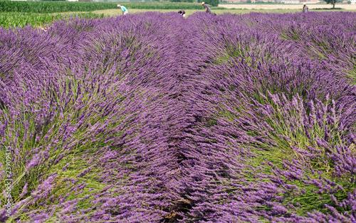 In de dag Lavendel Raccolta dei fiori di lavanda