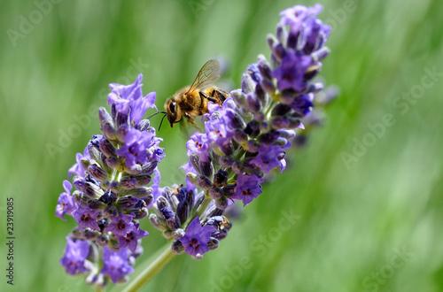 Fotobehang Lavendel abeille et lavande