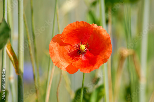 Field edge of a corn field with red poppies<br>@ p(AS)ob