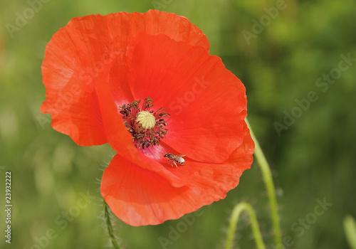 In de dag Poppy Einzelne Roter Mohn Pflanze mit Biene in der Blüte