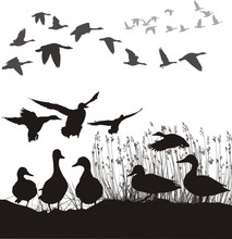 Wild Ducks And Geese, Black And White