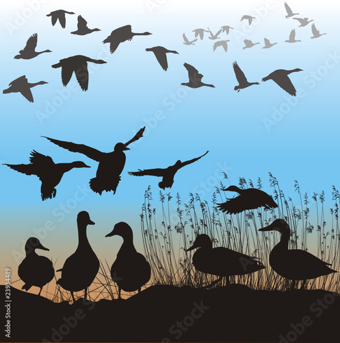 Photo Wild ducks and geese