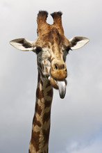 Giraffe Poking Its Tongue Out