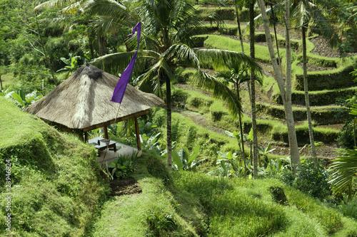 Poster Rijstvelden Bali. Rice fields grown up by terraces.