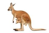 Fototapeta Zwierzęta - Känguruweibchen mit Jungtier auf weiß